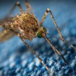 Japon araştırmacılar sivrisineğin koklama duyusuyla kanser dedektörü geliştirdi